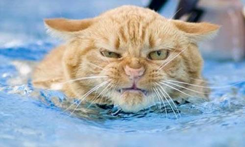 vanskiye koshki lyubyat plavat' v vode
