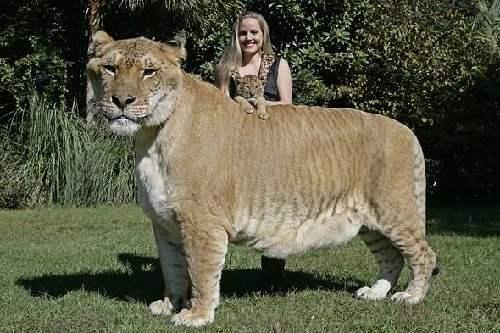 liger Gerkules